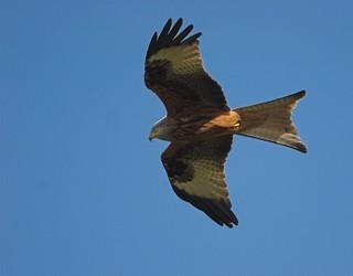 Red_kite_2